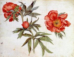 Мартин Шонгауэр, пионы, этюд к «Мадонне в беседке из роз»